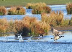 Canada Goose Chasing Rival Away - Druridge (Gilli8888) Tags: northeast northumberland birds wetlands countryside nikon p900 coolpix goose canadagoose water waterbirds geese nature