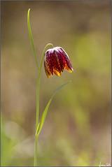Fritillaria (Luciano Silei - sky7) Tags: fritillaria canon7d helios58mmf2 helios zenit lucianosilei manualfocus vintagelens macro closeup nature