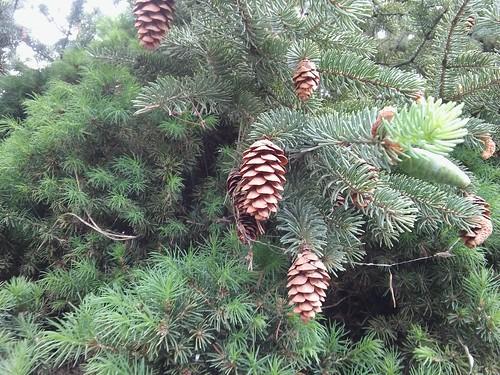 Picea glauca 'Conica' 20180504_164058