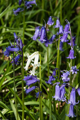 There Always has to be One (PedroLanders) Tags: berealston devon bluebell flower