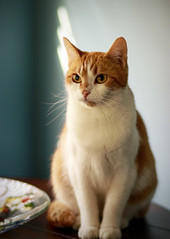 Katniss (Southern Darlin') Tags: cat cats feline felines kitty pet pets orange white blue lights furry cuddle queen photography photo canon color cute beauty