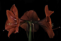 Red Amaryllis Tripple Header (Bill Gracey 18 Million Views) Tags: amaryllis red threeflowers tripleheader offcameraflash macrolens softbox yongnuo homestudio blackbackground fleur flower flor flowers flores tabletopphotography yongnuorf603