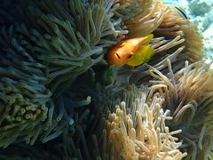 P1059549 (Karsten Kretz) Tags: underwater unterwasser anemone anemonenfisch clownfish maldives malediven