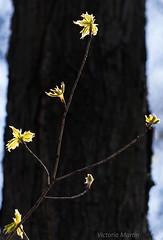 2018May05_2806 (Victoria C Martin) Tags: spring ontariocanada wildflowerworkshop brontecreekprovincialpark