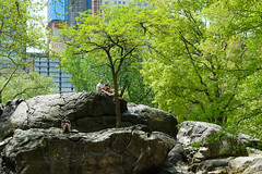 Urban Gorillas (ho_hokus) Tags: 2018 centralpark fujix20 fujifilmx20 manhattan nyc newyork newyorkcity usa tree rock people