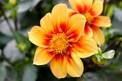 Vacances_0448 (Joanbrebo) Tags: eguisheim grandest francia fr alsace hautrhin flors flores flowers fleur fiori blumen blossom canoneos80d eosd efs1855mmf3556isstm autofocus