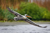 Pelikan (Adrian Mitu) Tags: pelikan pelican animal wild wilderness peak wings flying water danube delta
