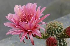 _1520052 trichocereus hybrid (sanddodger) Tags: trichocereus flower salmon color macro