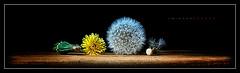 Dandelion Still Life (J Michael Hamon) Tags: flora flower seedhead dandelion stilllife weed widescreen panorama photoborder nature tabletop blackbackground hamon nikon d3200 nikkor 1855mm vignette light lighting shadow plant
