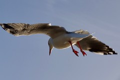 seagull following (Val in Sydney) Tags: manly australie australia nsw