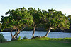 Kalahuipua'a - Threesome of Trees (Explored 15 may 2018, #237) (Drriss & Marrionn) Tags: bigisland hawaii usa outdoor tropicalisland volcanicisland tropical travel kalahuipuaa kalahuipuaafishponds tree trees grass sky park puako resort creek water landscape field fishpond pond frozenintimelevel1 frozenintimelevel2