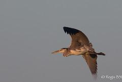 Le cendré pourpré... (Régis B 31) Tags: ardeacinerea ardéidés greyheron héroncendré pélécaniformes ariège bird domainedesoiseaux mazères oiseau vol explore