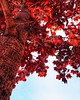 Burning red (Furkan Ozcelik) Tags: red burn burningred tree sky skyline morning kırmızı ağaç treemendeous nature naturelover naturelife treelove trees travel turkey doğa doga doğasever doğaşk