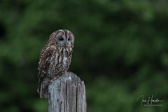 Tawny owl (Ian howells wildlife photography) Tags: ianhowells ianhowellswildlifephotography nature naturephotography nationalgeographic unitedkingdom wildlife wildlifephotography wildbird wild wildbirds tawnyowl tawny owl wales
