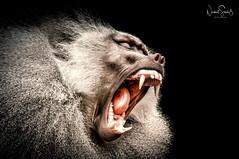 Stress bei den Affen ... Zoo Krefeld. (nigel_xf) Tags: affe zoo krefeld ape monkey stress gestresst zähne zahn tooth teeth nikon d300 nigel nigelxf vsfototeam zookrefeld krefelderzoo