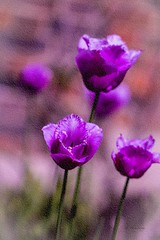 Tulips .. (Julie Greg) Tags: tulips flower nature texture colours canon5dmarkiv park