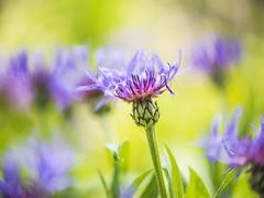 Then the sun came (Sandra's Weeds) Tags: nature sandrafelt sandravfelt sunlight spring2018 njshore nj macro flowers colors mygarden mediumformat zeissmakroplanart250zf2