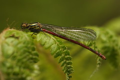 Red Damselfly (Chris*Bolton) Tags: reddamselfly damselfly damselflies insect insects nature summer wildlife fern ferns kilmacurragh wicklow ireland