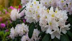 More Flowers (Travis Daki) Tags: white flowers green flora summer nature leaves sunny park