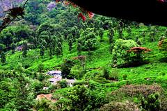 Tea Garden on Coimbatore-Munnar Road (deepgoswami) Tags: india kerala munnar westernghats teagarden