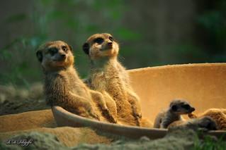 The Jacuzzi meerkats