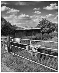 Sheep. Bingham (dam design) Tags: sheep bingham nottingham nottinghamshire kirkhill