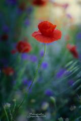 Tarde de primavera.... (josechino2424) Tags: amapolas josechino2424 humanesdemadrid