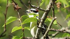 Downy Woodpecker (blazer8696) Tags: 2018 brookfield ct connecticut ecw obtusehill t2018 tabledeck usa unitedstates downy downywoodpecker dowo img3050 picidae piciformes picoides picoidespubescens picpub pubescens woodpecker