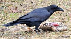 DSC_0427 (RachidH) Tags: birds crow corbeau corneille corvidae corvus americancrow corvusbrachyrhynchos corneilledamérique newton nj rachidh nature black pheasant faisan hopatcong newjersey