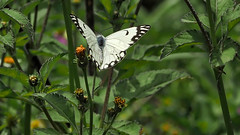african white butterfly Nairobi (Phil Gate Keeper) Tags: butterfly nairobi kenya meadow