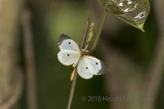 Pentila picena (Hiro Takenouchi) Tags: ghana nature insect africa papillon wildlife lycaenid lycaenidae lipteninae butterflies butterfly schmetterling
