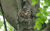 Bosuil - Tawny Owl - Strix aluco -0129 (Theo Locher) Tags: bosuil tawnyowl waldkauz chouettehulotte strixaluco vogels birds vögel oiseaux netherlands nederland copyrighttheolocher