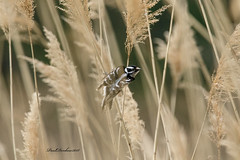 Downy Woodpecker (psdenbow) Tags: downywoodpecker tamron150600