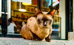 Grumpy cat (Robica Photography) Tags: thailand bangkok daylight daytime street pavement shop brown cat eyes green d3200 streetphotography robicaphotography art streetart
