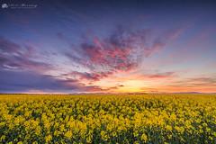 Rapeseed Sunset (MNM Photography 2014) Tags: sunset colourfulclouds rapeseed northernireland limavady ireland oilseedrape