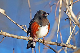 Spotted Towhee 18-0212-3843