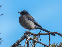 Woodhouse's Scrub-Jay, Aphelocoma woodhouseii (bruce_aird) Tags: