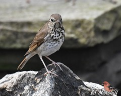 Hermit Thrush (Ed McAskill) Tags: hermit thrush edmcaskill birds birdshare