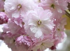 Blossom #1 (MJ Harbey) Tags: blossom flower pinkblossom ascotthouse nationaltrust macro buckinghamshire nikon d3300 nikond3300
