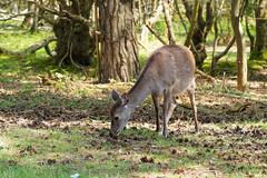 2018.05.08 Arne (8) (Kotatsu Neko 808) Tags: arne dorset sikadeer deer