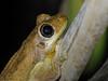 Litoria tyleri (Blue Mts, 2005) (ROCKnVOLE Photography) Tags: litoria tyleri australia bluemountains sydney frog amphibian
