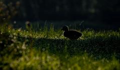 Back lit Greylag Gosling (neil 36) Tags: back lit gosling baby bird dew covered grass light shade silhouetted nature wildlife neil hutchinson nikon d7200 nikor 300mm bokeh graylag