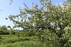 Tolkmicko, Warmia, Poland (LeszekZadlo) Tags: orchard trre flowers green blue white sprung nature natureza naturaleza wiosna landscape paisaje landschaft warmia ermland polska poland polonia pologne polen europe eu ue