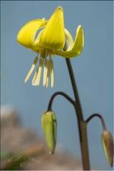 Tuolumne fawn lily (atranswe - working in the garden) Tags: dsc4249 sweden sverige västernorrland ångermanland väja n62°5818e17°42 tuolumnefawnlily hundtandslilja erythroniumpagoda gul yellow garden trädgård lilja lilly blomma flower plant nature outdoor outside ute macro atranswe flowerwatcher