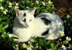 """Cat""astrophe something's in the strawberries (robbie20161) Tags: animals cats sunshine shadows strawberries strawberry flowers spring nature cute"