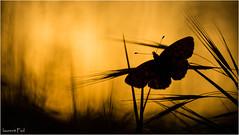 fin de journée (laurent fiol) Tags: macro proxi proxy papillon butterfly mariposa contrejour soleil