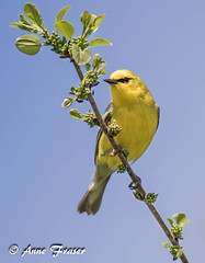 Blue-winged Warbler (Anne Marie Fraser) Tags: bluewingedwarbler warbler spring bird nature wildlife yellow tree