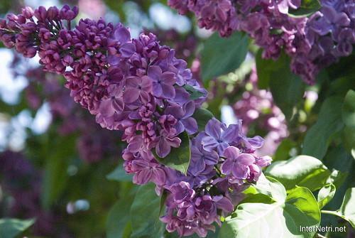 Сад бузків Ботанічний сад імені Гришка InterNetri  Ukraine 11