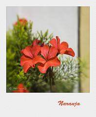 Naranja (Panthea616) Tags: flor flowers naranja orange 7dwf fridaysflora