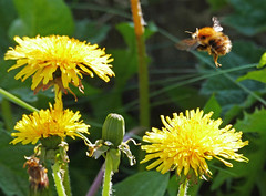 Busy Bee and Dandelion Flowers (eric robb niven) Tags: ericrobbniven scotland bumble bee dandelion wildflower nature auchterhouse springwatch